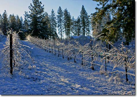 vineyards in the snow